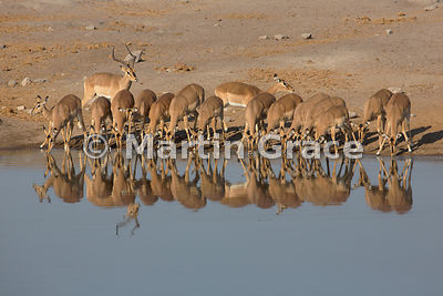 Male Black-Faced Impala (Aepyceros melampus petersi) guards his harem of drinking females, Chudob waterhole, Etosha National ...