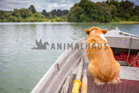 corgi sitting in a rowing boat looking where he's going