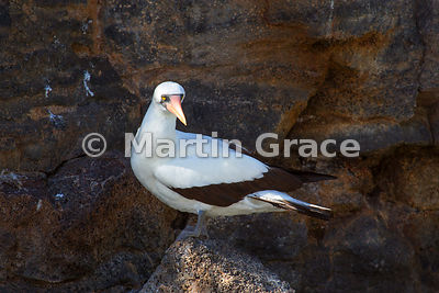 Nazca Booby (Sula granti) on the cliffs of Darwin Bay, Genovesa, Galapagos Islands