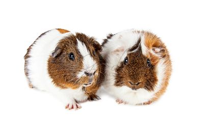 Two Cute Guinea Pigs Together