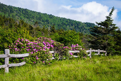 Rhododendron Fence 1