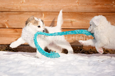 Two white puppies playing tug