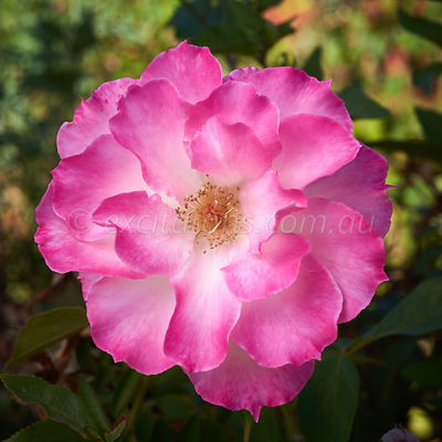 Seduction floribunda rose