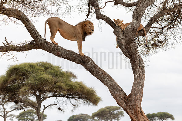 Male Lion Dutifully Waits while a Female in Oestrus Sleeps in a Tree