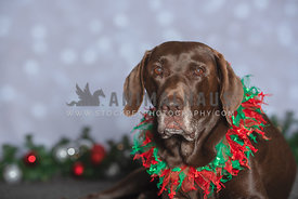 chocolate lab with gray muzzle wearing fluffy Christmas collar