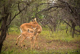 A springbuck and her young in a forest.