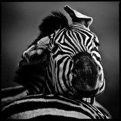 3462-Zebra_looked_and_winced_Laurent_Baheux