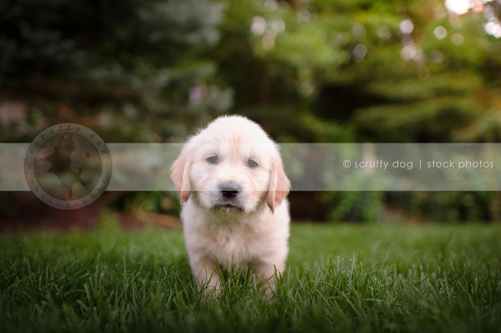 Stock Photo serious golden retriever puppy staring standing