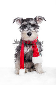 Schnauzer puppy with red christmas santa scarf on white background