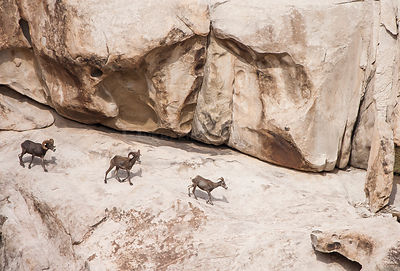 Bighorn sheep (Ovis canadensis) southwestern Arizona. USA August.