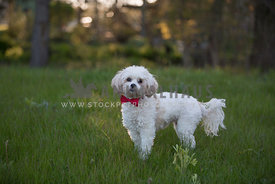 small white dog at sundown in field