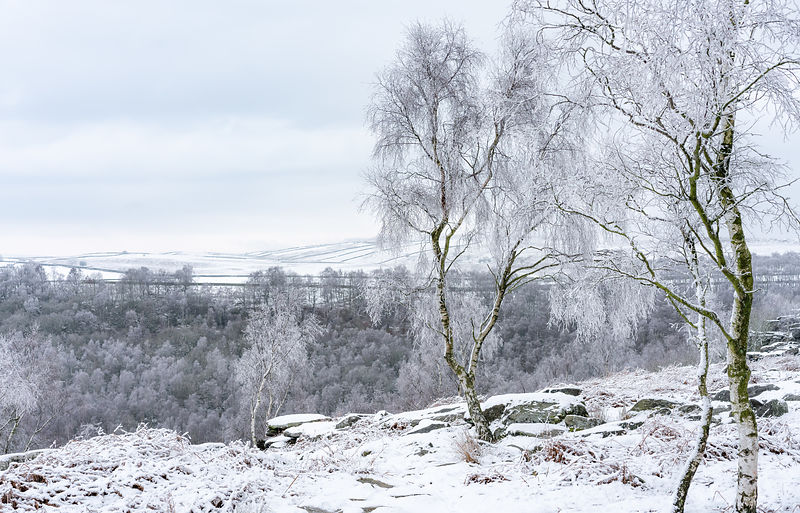 Frosted silver birch trees on Gardom's Edge
