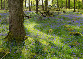 Baysbrown Bluebells