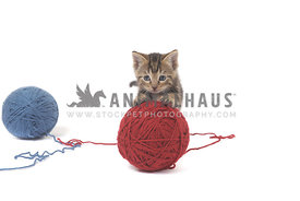 Gray tabby kitten playing with red ball of yarn on white background