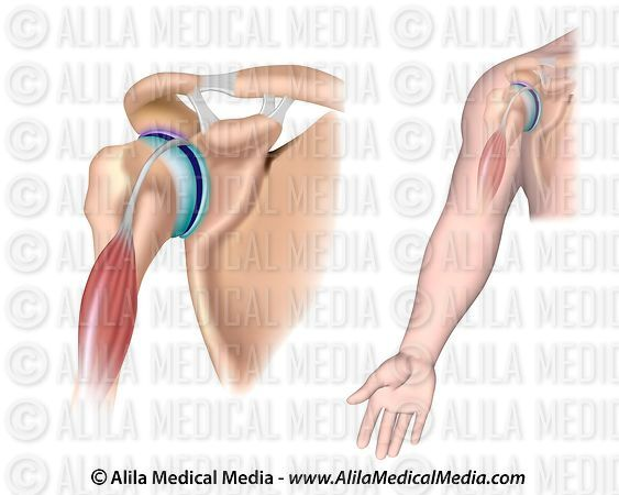Shoulder anatomy with acromioclavicular joint