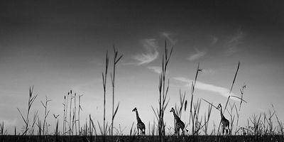 9121-Giraffes_in_the_grass_Kenya_2006_Laurent_Baheux