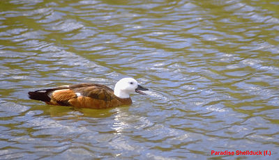 May - Paradise Shelduck