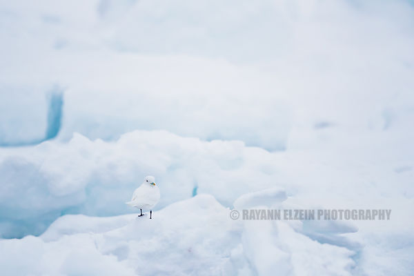 Ivory gull standing on the pack ice in Svalbard