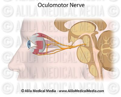 The Oculomotor nerve, unlabeled.