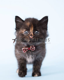 Tortoiseshell Kitten in bow tie with light blue background