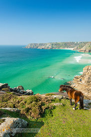 Horse on the cliffs above the beach at Porthcurno,  Cornwall - BP6676