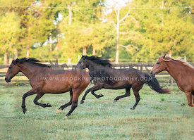 side view of 3 horses galloping in pasture