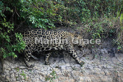 Male Jaguar (Panthera onca) known as Marley works his way along the riverbank, River Cuiabá, Northern Pantanal, Mato Grosso, ...