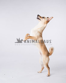 Dancing Male Deerhead Chi with curly tail in studio