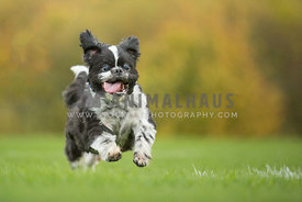 Happy little bouncy dog with big smile running along grass with bright natural outdoor background
