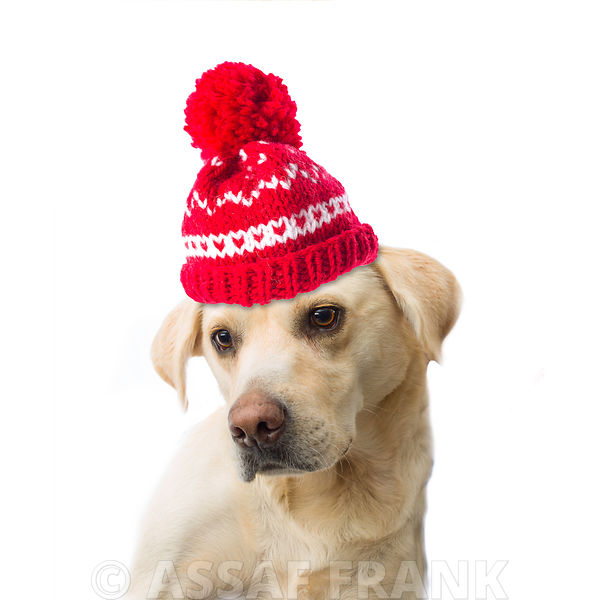 Golden Labrador with wooly hat