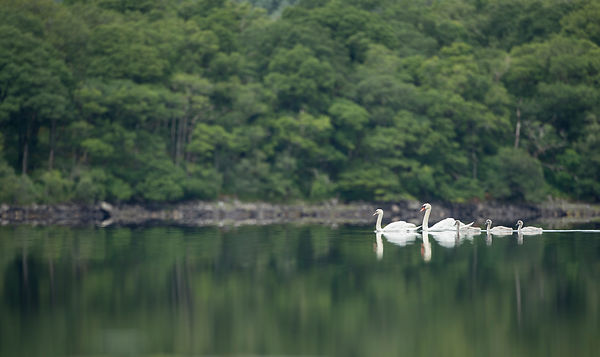 The same family of Mute Swans gracefully moving across a loch