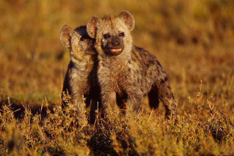Portrait of a Pair of Spotted Hyaena Cubs