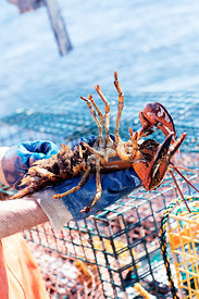 Lobster Maine