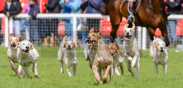 The Parade of the Duke of Beaufort's Hounds - Mitsubishi Motors Badminton Horse Trials 2014
