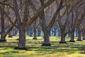 Walnut Orchards #1