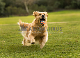 golden retriever catching a ball making funny face