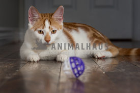 Cat staring at ball toy