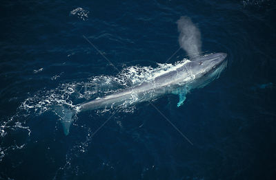 Aerial view of feeding Blue whale blowing at sea surface {Balaenoptera musculus} Mexico