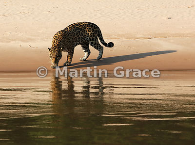 Female Jaguar 'Hunter' approaches the water, the evening sunlight casting very long shadows, Three Brothers River, Northern P...