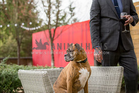 Brindle boxer dog sitting on wicker chair looking away from man in suit holding wine glass