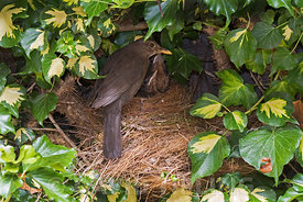 Blackbird Turdus merula female feeding 3 chicks close to fledging at nest in ivy in garden Holt Norfolk July