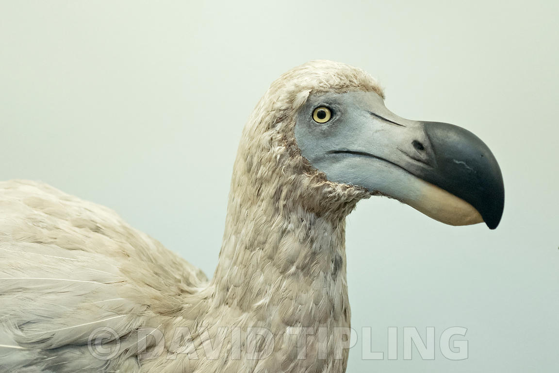 Reconstruction of an extinct Dodo