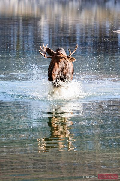 Male moose in a river, Jasper National Park, Alberta, Canada