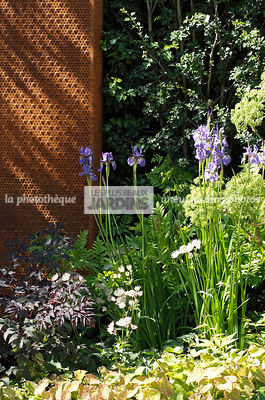 Association de vivaces : Angelica 'Ebony' (feuillage pourpre), Iris x robusta 'Gerald Darby', Astrantia 'White Giant' (astran...