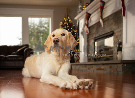 Labradoodle puppy lying in living room in front of Christmas tree