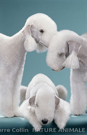 Chiens de race Bedlington terrier