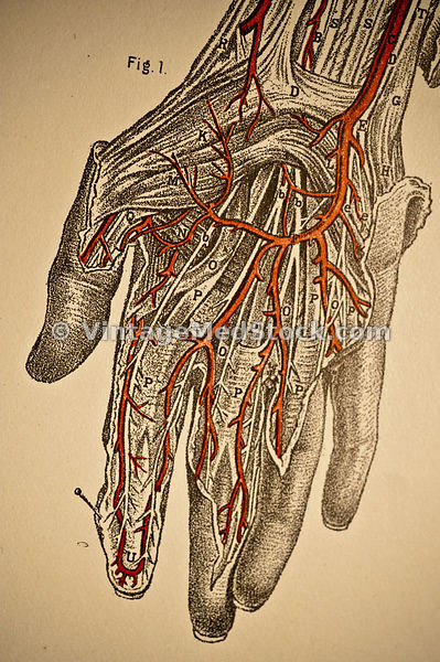 Veins in the Hand
