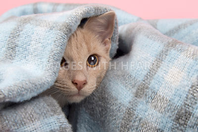Curious kitten peeking out of blanket