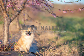 one eyed long haired chi mix sitting under blooming peach tree