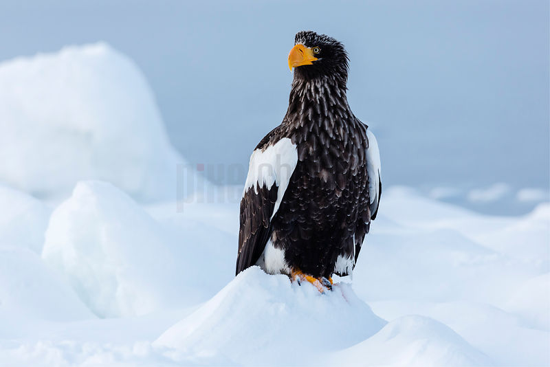 Portrait of a Steller's Eagle on an Ice Floe